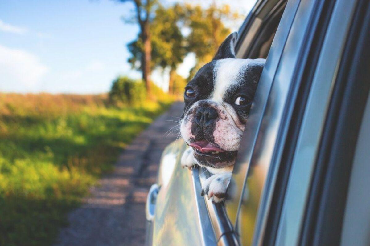 Las mascotas también deben usar un arnés de seguridad a la hora de viajar en un auto.
